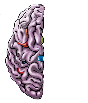 cartoon image of the the left side of the brain.